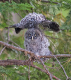 great gray owl chick