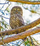 great gray owl adult