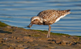 Black bellied plover with crab