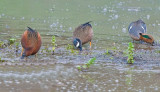 The three teals - cinnamon, blue winged, and green winged.