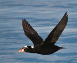 mr surf scoter