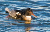 redbreasted merganser (male)