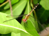 Band-winged Dragonlet young female