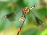 Band-winged Dragonlet  young male