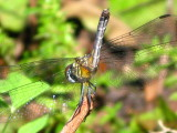 Blue Dasher Juvenile male