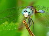 Blue Dasher male, close-up