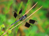 Band-winged Dragonlet male
