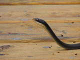 Krayfish snake