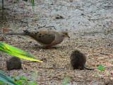 Florida Dove & Brown  Rat