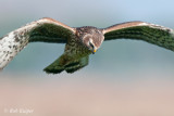 Hen Harrier / Blauwe Kiekendief