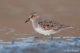 Temmincks Stint / Temmincks Strandloper
