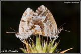 Butterflies and Moths (Lepidoptera) of Malta