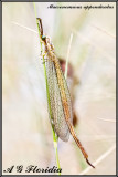Macronemurus appendiculatus