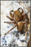 Aelurillus schembrii - female