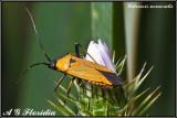 Calocoris nemoralis