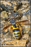 Eumenid sp.