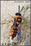 Leucospis miniata  -  female