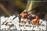Leucospis miniata  -  male