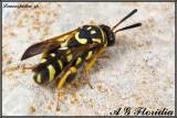 Leucospidae sp.