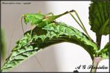 Phaneroptera nana - nymph