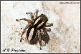 Aelurillus monardi