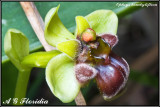 Ophrys bombyliflora