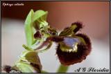 Ophrys ciliata