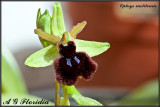 Ophrys melitensis