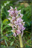 Orchis conica