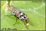 Anthomyia pluvialis - female