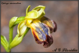 Ophrys mesaritica