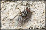 Anthomyia pluvialis - male