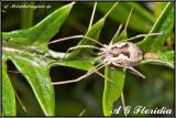 cf. Metaphalangium sp.