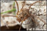 Phalangiidae