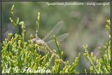 Sympetrum fonscolombii  - newly emerged