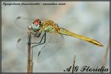 Sympetrum fonscolombii  - immature male