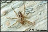 Oecobius sp. Probably O. navus