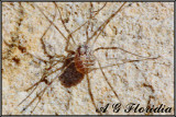 Opiliones - Unidentified species