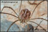 Metaphalangium sp.