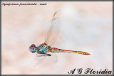 Sympetrum fonscolombii - male