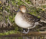 Northern Pintail, female