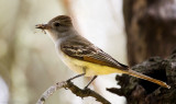 Ash-throated Flycatchers