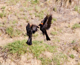 Squabbling Red-winged Blackbirds