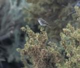 Gray Flycatchers