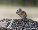 Chipmunck