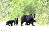 Amerikaanse Zwarte Beer - American Black Bear - Ursus americanus