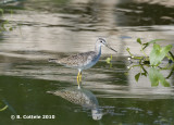 Grote Geelpootruiter - Greater Yellowlegs - Tringa melanoleuca