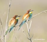 Bijeneter - European Bee-eater - Merops apiaster