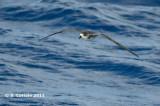 Kaapverdische Stormvogel - Fea's Petrel - Pterodroma feae
