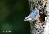 Boomklever - Eurasian Nuthatch - Sitta europaea